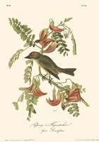 Pipiry Flycatcher by John James Audubon - various sizes