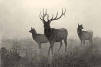 American Elk Fine Art Print