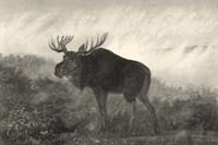American Moose Fine Art Print