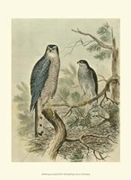 Sparrow Hawk Fine Art Print