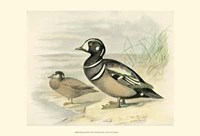 Harlequin Duck Fine Art Print