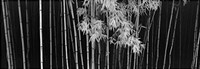 Bamboo - China Fine Art Print
