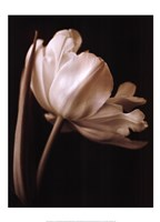 "Champagne Tulip I by Charles Britt - 20"" x 28"""