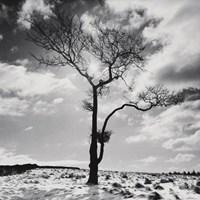"Lone Tree # 2, Peak District England by John James Audubon - 20"" x 20"""