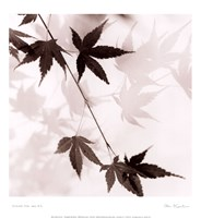 """Japanese Maple Leaves No. 1 by Alan Blaustein - 13"""" x 14"""""""