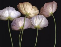 "Cream Poppies by Pip Bloomfield - 28"" x 22"""