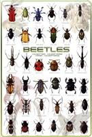 Beetles Fine Art Print