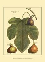 Fig Leaf II Fine Art Print