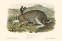 Polar Hare Fine Art Print