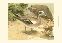 Green-wing Teal Fine Art Print