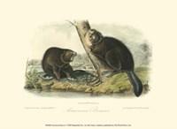 American Beaver Fine Art Print
