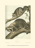 Racoon Fine Art Print