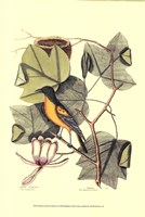 Baltimore Bird and Tulip Tree Fine Art Print