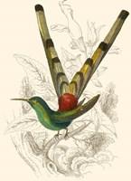 Hummingbird II Fine Art Print