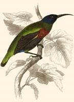 Hummingbird IV Fine Art Print