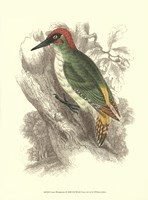 Green Woodpecker Fine Art Print
