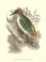 "Green Woodpecker by Sir William Jardine - 10"" x 13"""