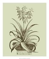 Vintage Aloe II Fine Art Print