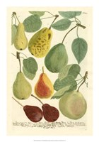 Plentiful Pears I Fine Art Print