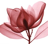 Red Magnolia I Fine Art Print