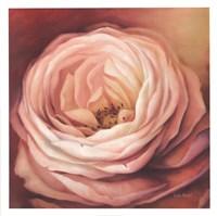 """Rose Portrait by Lisa Audit - 26"""" x 26"""""""