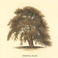 Oriental Plane Framed Print