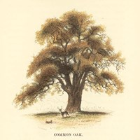 Common Oak Fine Art Print
