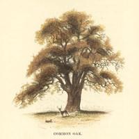 Common Oak Framed Print
