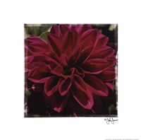 "Dahlia Delight by John Jones - 12"" x 12"""