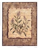 Vintage Herbs-Sage Fine Art Print
