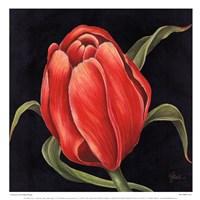 Tulipe Rouge Fine Art Print