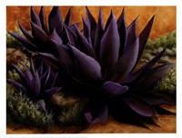 Purple Agaves On The Rocks Fine Art Print