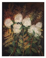 Hydrangeas and Ferns Fine Art Print