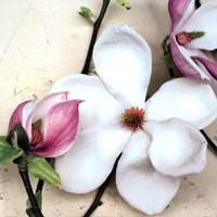 Magnolia Diva I Fine Art Print