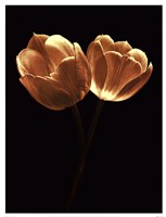 Illuminated Tulips II Fine Art Print