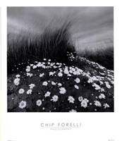 "Sand Daisies by Chip Forelli - 14"" x 16"""