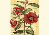 French Camelia Framed Print