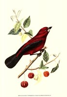 Cuvier Exotic Birds V Fine Art Print