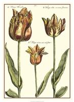 "De Passe Tulipa I by Crispin Van Der Passe - 19"" x 26"""