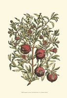 Pomegranate Tree Branch Fine Art Print
