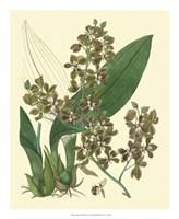 Antique Orchid Study III Fine Art Print