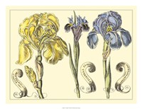 Iris in Bloom I Fine Art Print