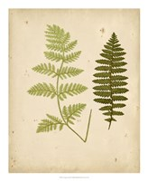 Cottage Ferns III Fine Art Print