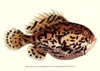 "Antique Fish III by Frederick P. Nodder - 13"" x 10"""