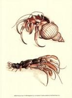 Hermit Crabs I Fine Art Print
