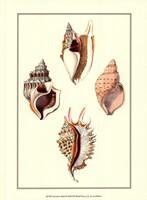 Strombus Shells Fine Art Print