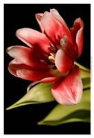 """Red Tulip III by Renee Stramel - 13"""" x 19"""""""