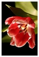 "Red Tulip IV by Renee Stramel - 13"" x 19"""