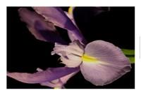 """Sweet Iris I by Renee Stramel - 22"""" x 15"""" - $22.49"""