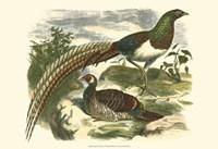 Amherst Pheasant Fine Art Print